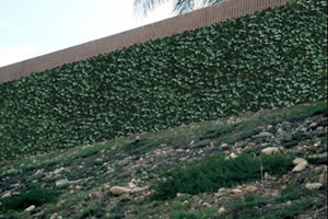 Freeway wall covered with Ivy-It to deter grafitti