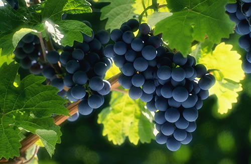 Two bunches of ripe red Sonoma grapes on vines in the sunlight